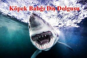 Köpek Balığı Diş Dolgusu